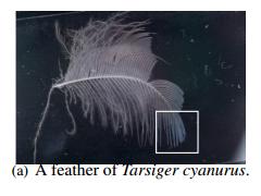 [AOP] 信州大学 - 構造色の有限要素解析 ~ルリビタキの羽毛繊維の構造色と入射角度依存性~